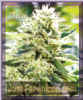 Emerald Triangle Lemon Diesel Feminised 5 Seeds